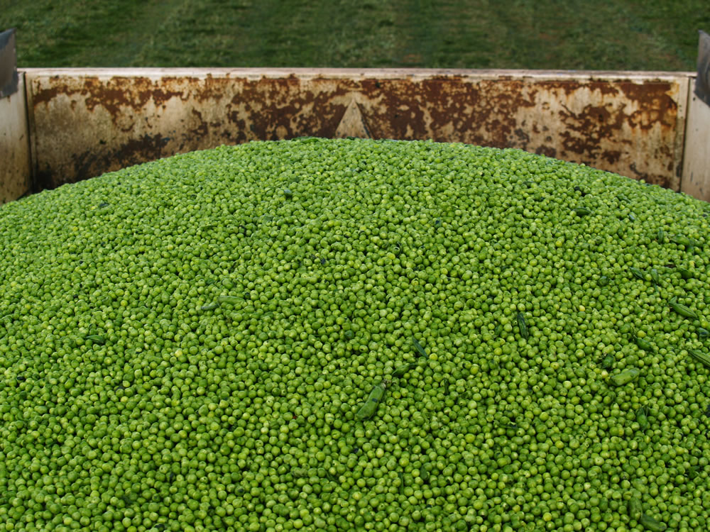 There are 35,000 hectares of peas grown in the UK each year, producing about 160,000 tonnes of frozen peas