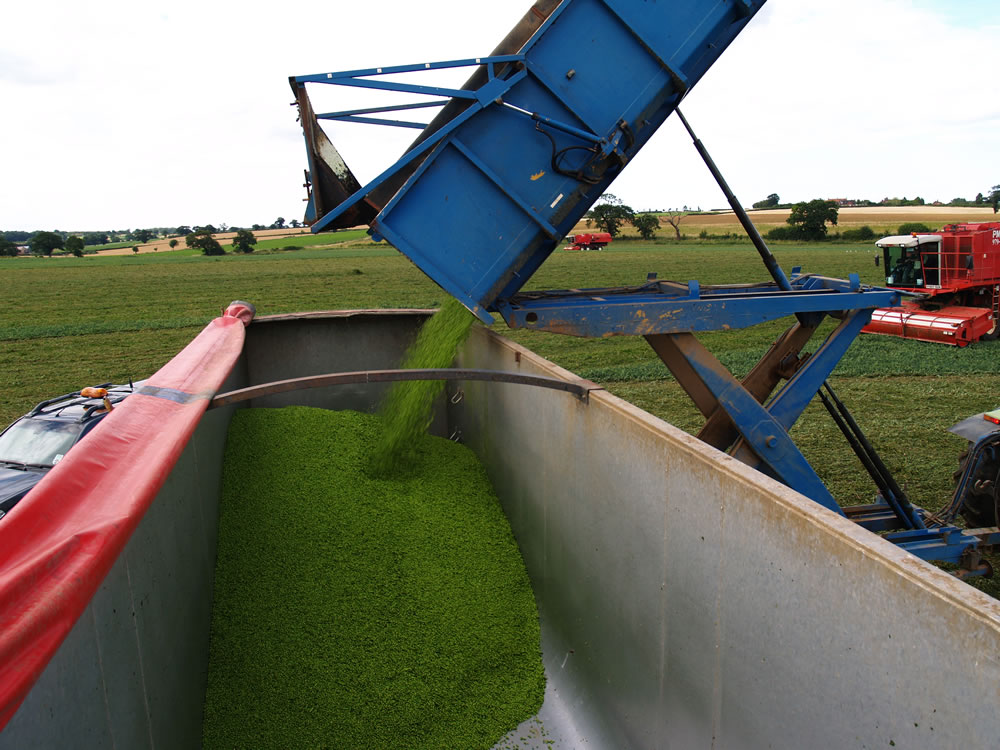 Economy peas are usually produced from higher grade B, to C and D grade peas